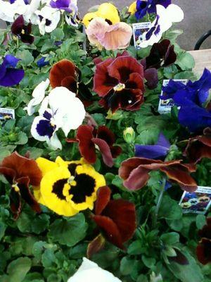 Regional mkt pansies spring