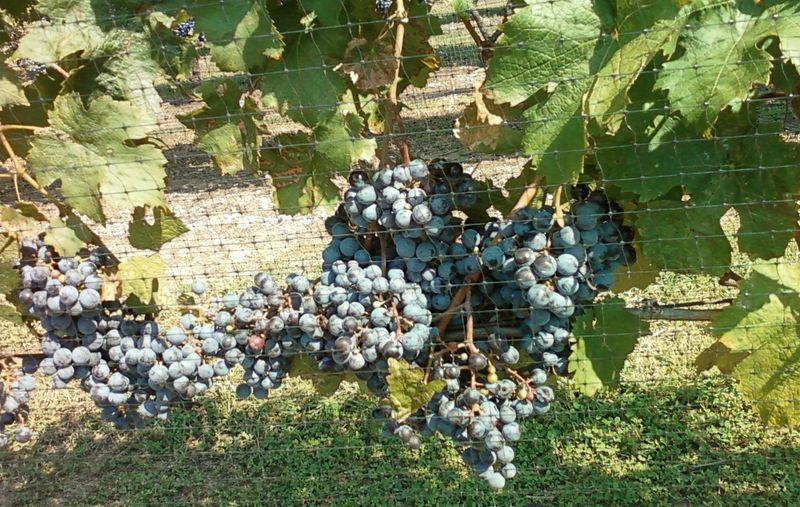 LI grapes