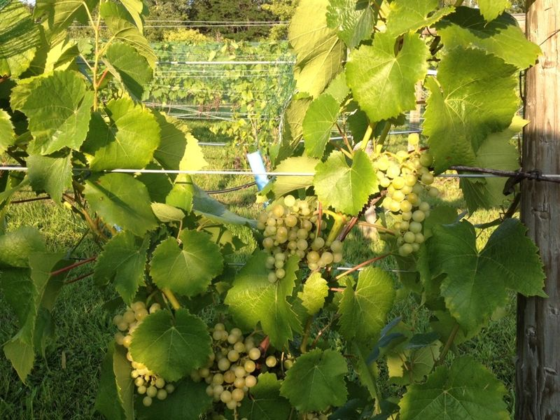 Greenwood grapes H