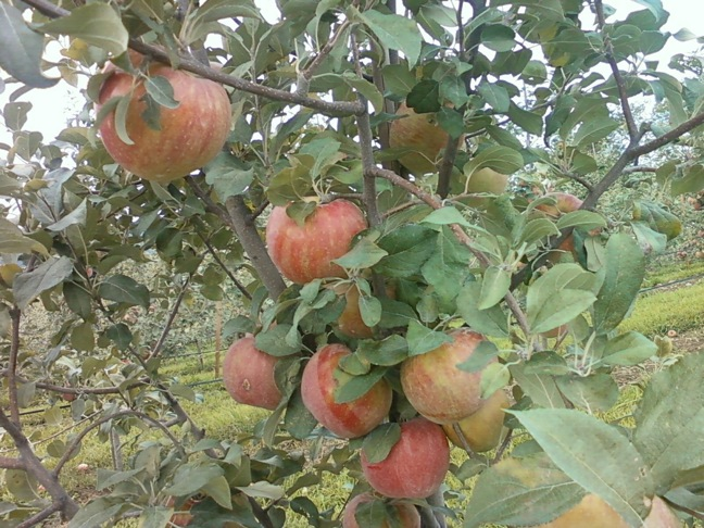 Apples adams tree H