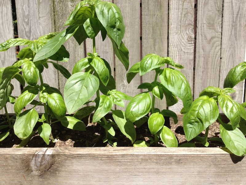Garden basil box