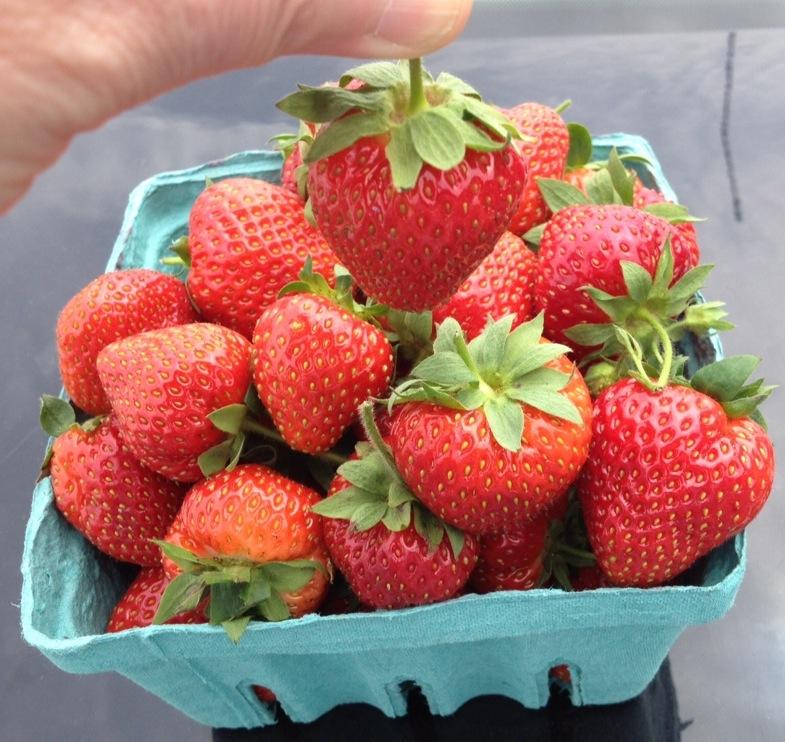Clear path strawberries single & quart