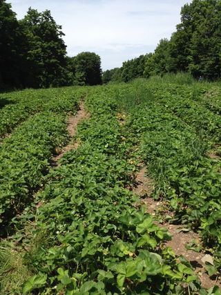 Clear path strawberries field