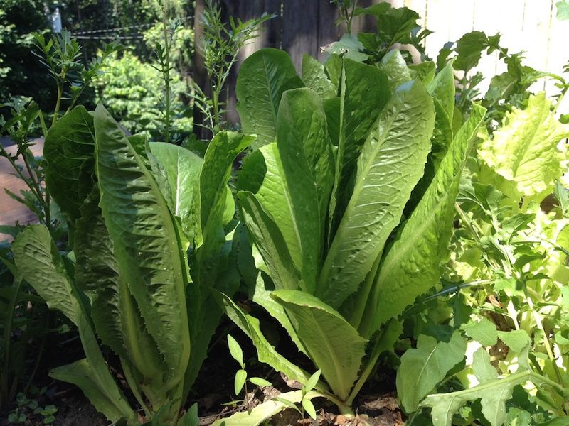 Lettuces garden box