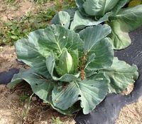 Wegmans pointy cabbage